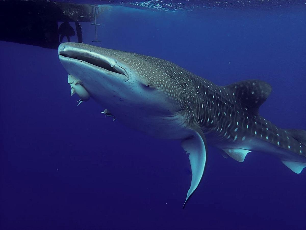 Tauchen Und Schnorcheln Auf St Helena Teufelsrochen Walhaie Wracks